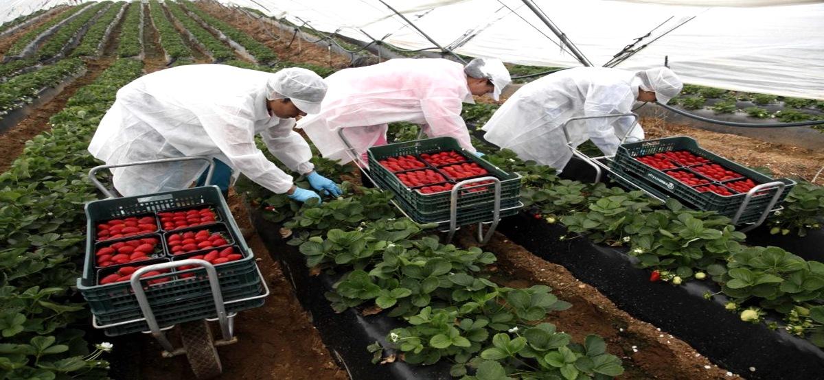 Empleo Recolectores Fresas Huelva3 - Ofertas de empleo en la recolección de fresas en Huelva