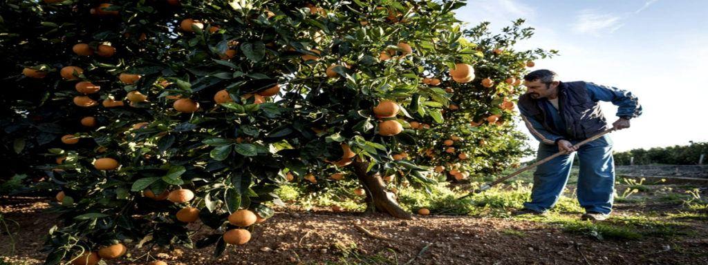 Empleo Agricultor Campaña Agricola Cieza