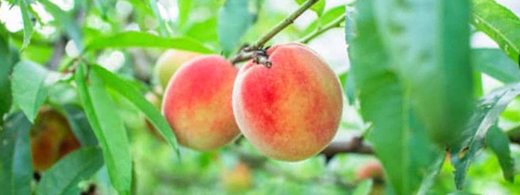 Recolector Fruta Empleo