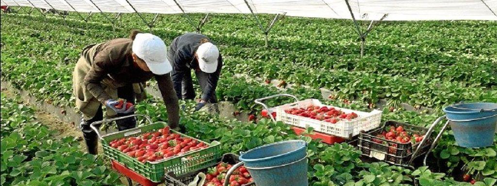 Trabajar Recogida Frutas